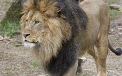 Seis leones y tres tigres del Zoológico Nacional en Washington dieron positivo a pruebas de coronavirus